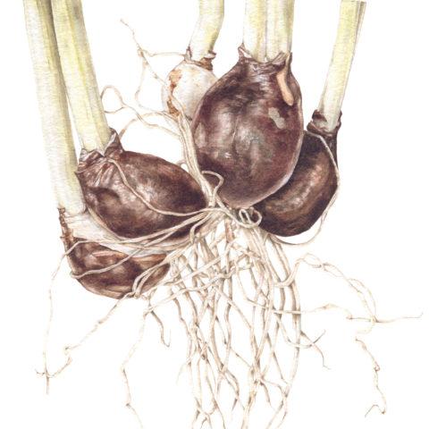 Galanthus nivalis bulbs