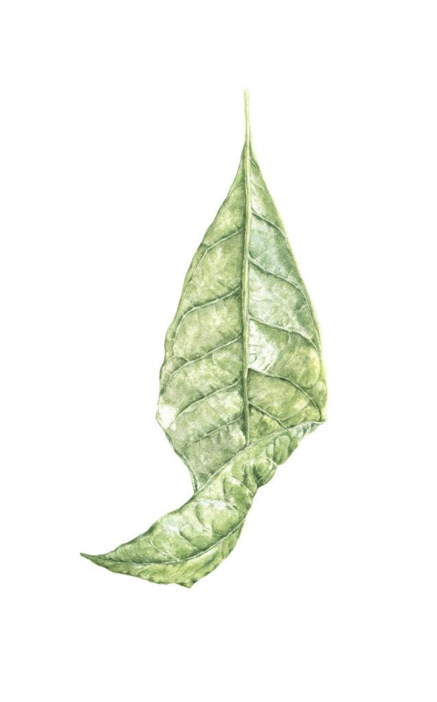 Watercolor avocado leaf painted by Lisa Chernyavska