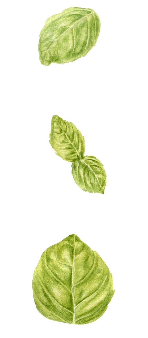 Watercolor basil leaves